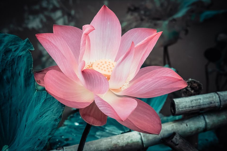 The lotus symbolises a connection with the present and peace of mind.